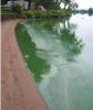 shoreline with green algae in the water